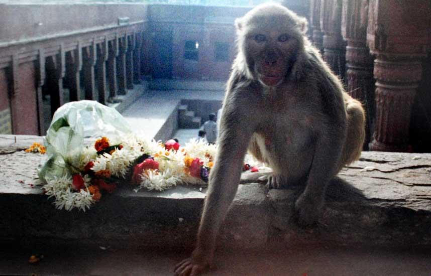 templeMamaMonkey