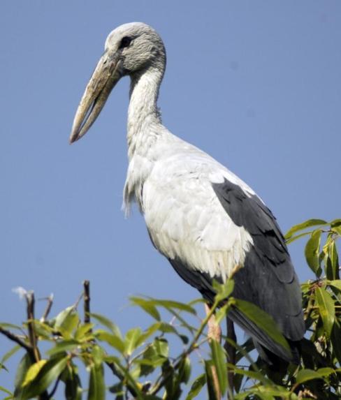 Open Billed Heron